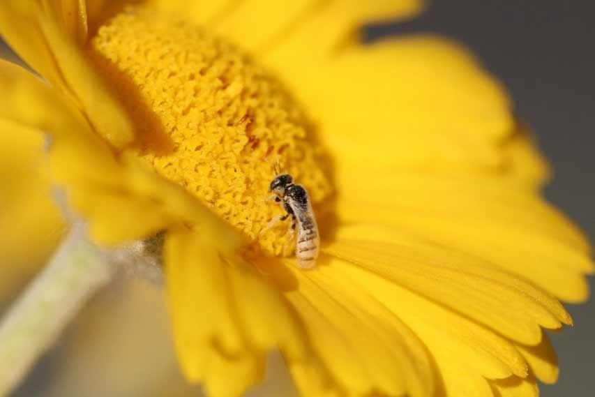 Fairy bee Perdita sp