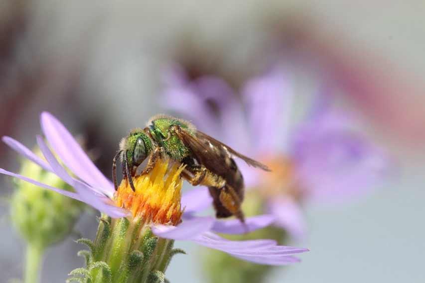 Green metallic sweat bees