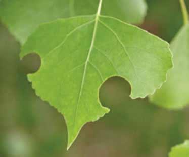 Populus deltoides wislizenii