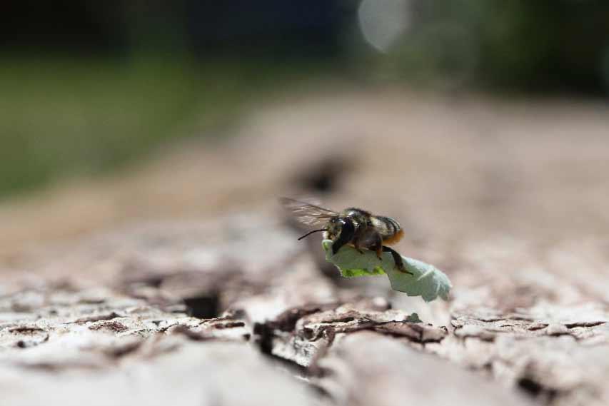Megachile - Leaf cutter bee