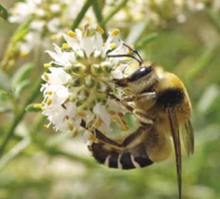 Yarrow's fork tongued bee